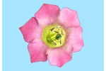 Květ tabáku Květ tabáku