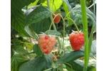 Symptoms on raspberry plants Uneven ripening of raspberry fruits (foto: J. Fránová)