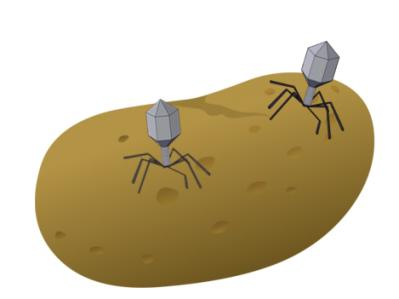 Bc or MSc theses offer: Bacteriophages against potato canker